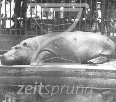 ZS204: Obaysch - das viktorianische Nilpferd