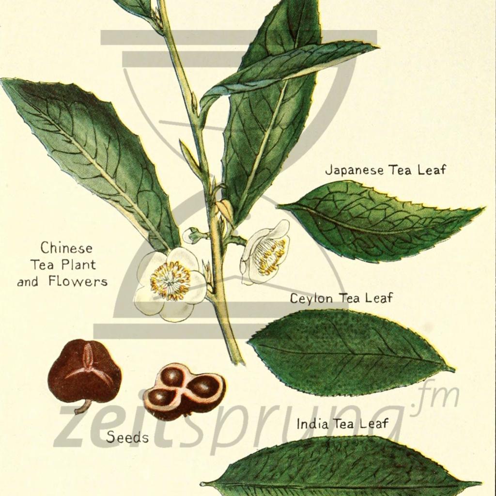 ZS177: Robert Fortune, Botaniker und Teespion – Zeitsprung ...